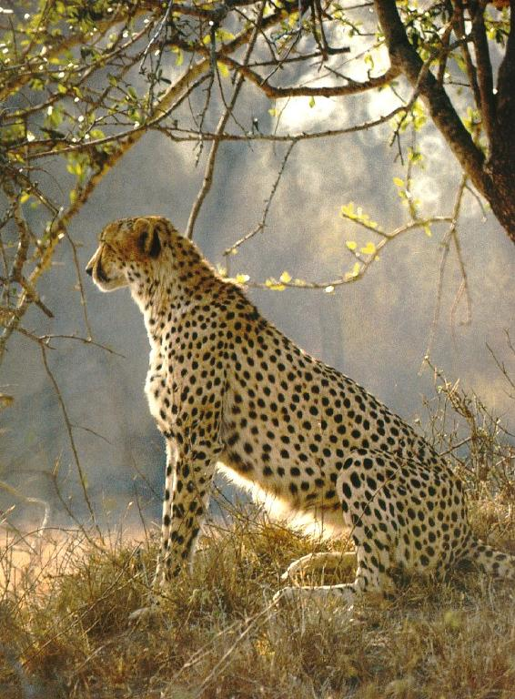 Cheetah sitting down drawing - photo#14