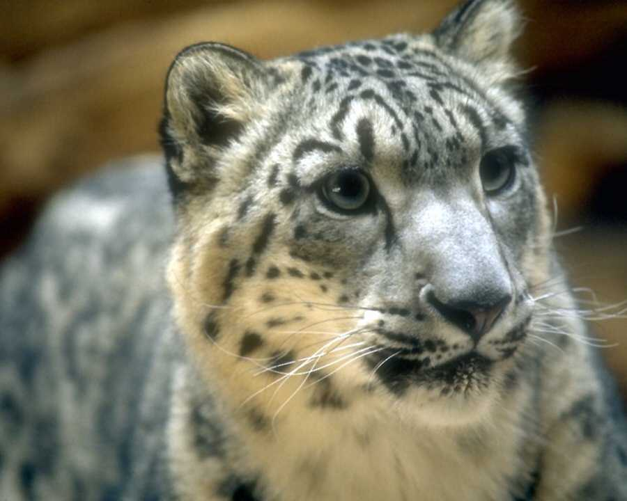 Snow leopard face side - photo#22